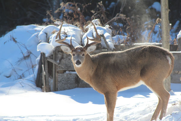 adult-male-deer