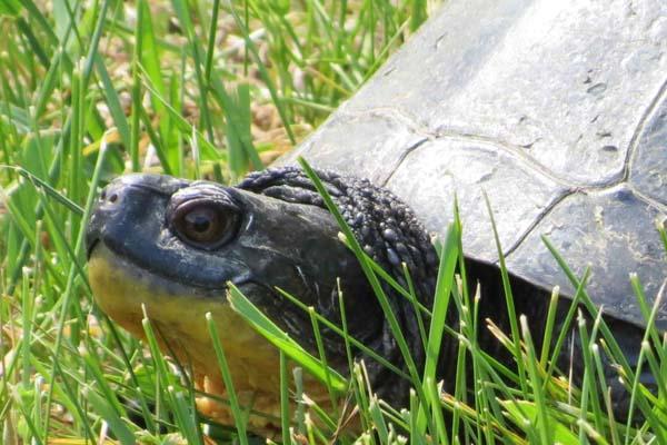 blanding-turtle