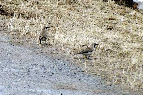 horned-larks