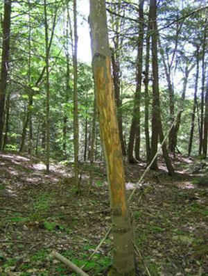 Moose Teeth Marks on Tree (Anne Barbour)