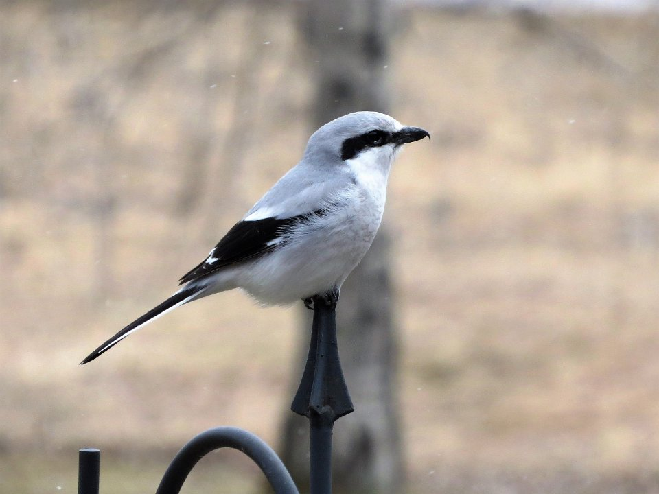 northernshrike-min