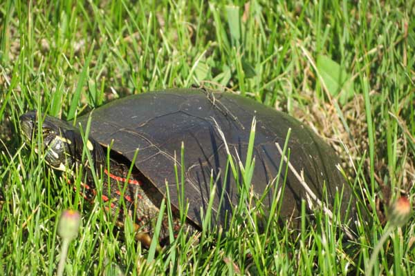 painted-turtle