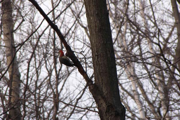 red-bellied-woodpecker-lambe