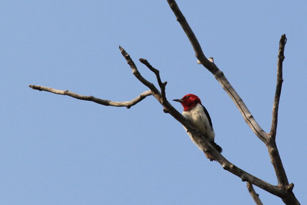 red-headed-woodpecker