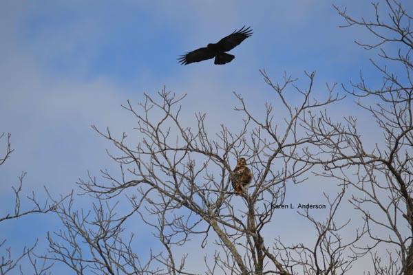 redtailed-hawk