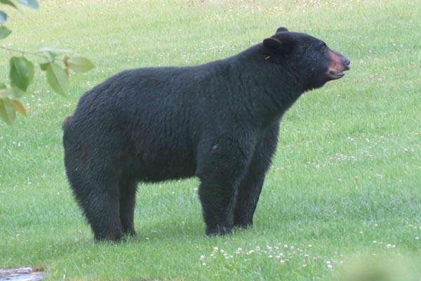 ridgway-bear