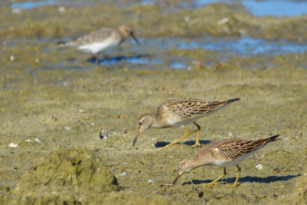 sand-pipers