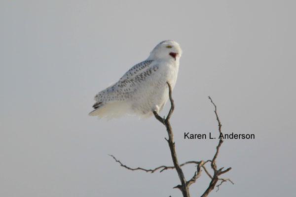 snowy-owl-anderson-2