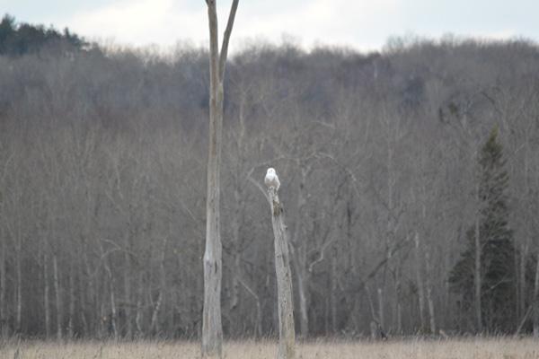 snowy-owl-anderson