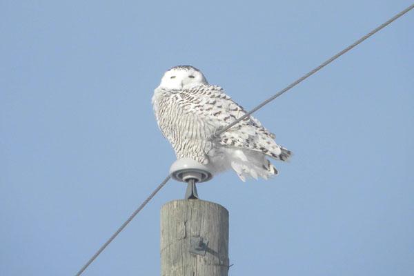 snowy-owl-graham