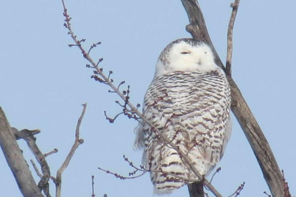 snowyy-owl-mills