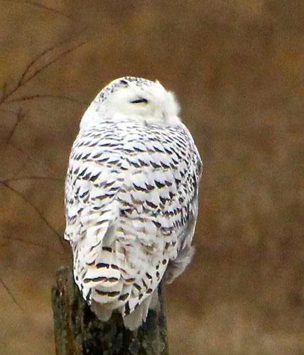 snowyy-owl