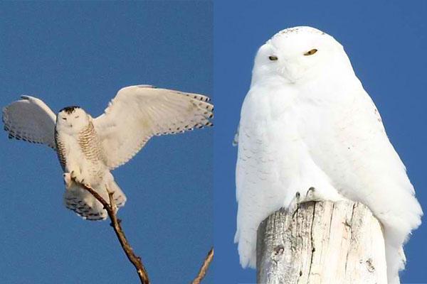 snowyy-owls