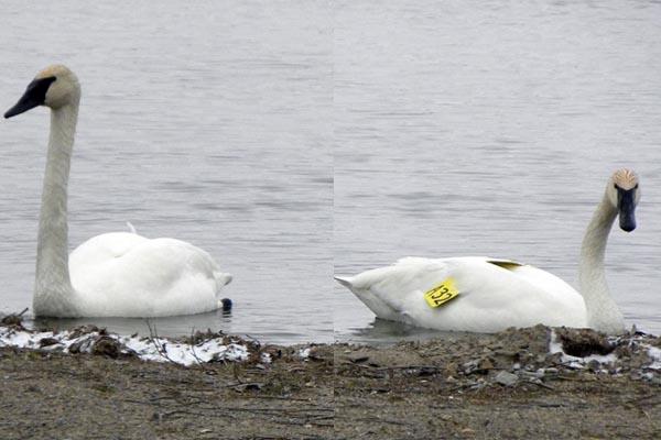 swans-on-sturgeon-lake