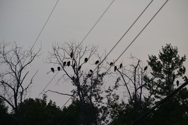 turkey-vultures