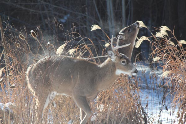 young-male-deer