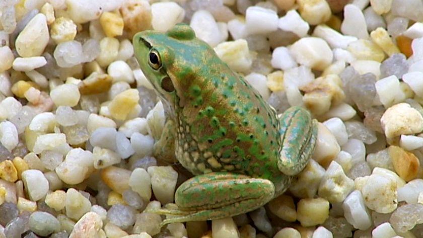 extinct-frog